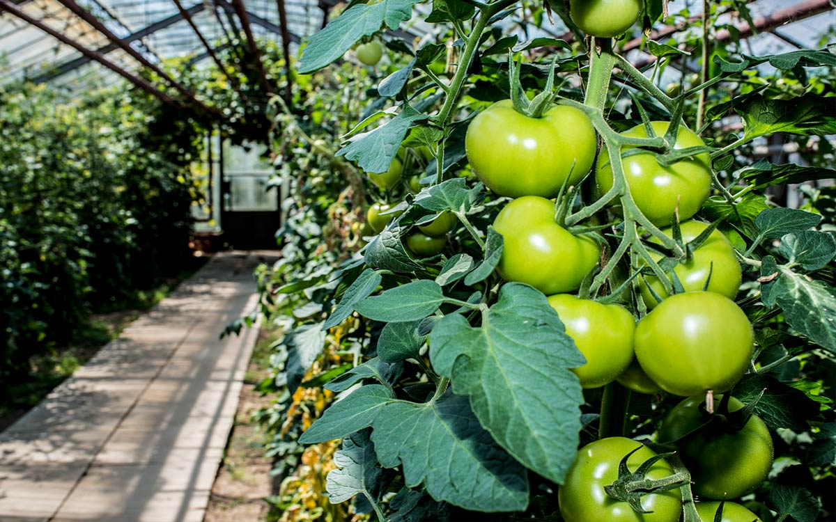 412-conzentrat-duesseldorf-tomaten-saisonale-foto-dokumentationenfuer-die-graefliche-gaertnerei